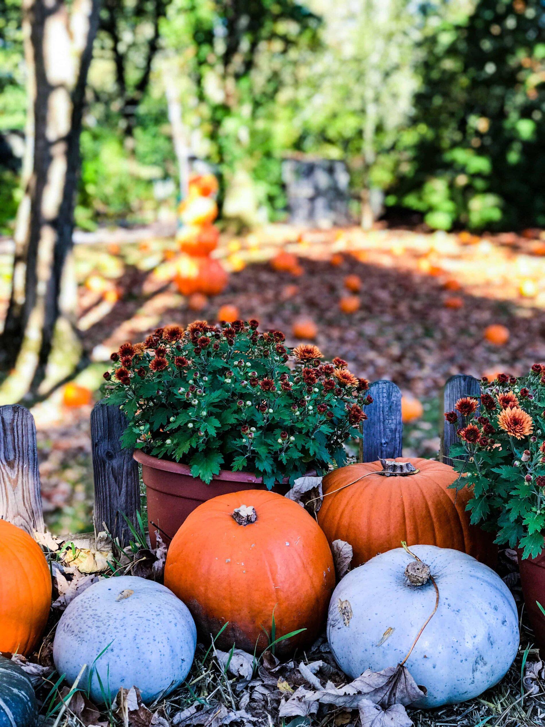Pumpkin picking patches