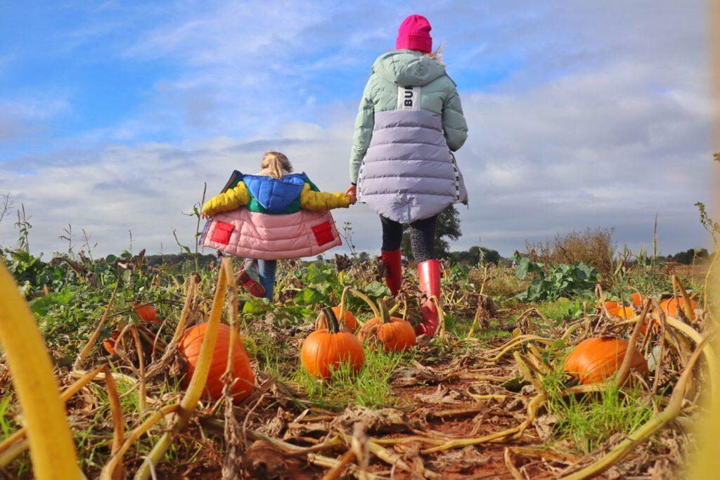 Pumpkin picking Farringtons Somerset