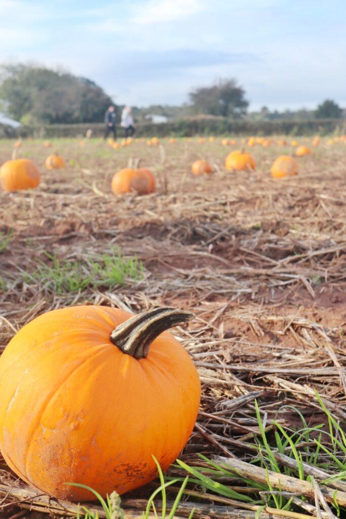 Pumpkin picking Somerset